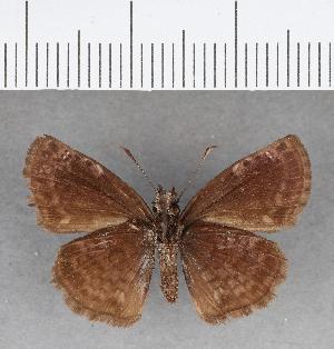 (Hesperiidae_gen sp. CF96 - CFC09757)  @11 [ ] copyright (2018) Christer Fahraeus Fahraeus Institute