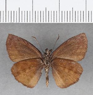 (Hesperiidae_gen sp. CF59 - CFC09760)  @11 [ ] copyright (2018) Christer Fahraeus Fahraeus Institute