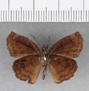 (Hesperiidae_gen sp. CF95 - CFC09774)  @11 [ ] copyright (2018) Christer Fahraeus Fahraeus Institute