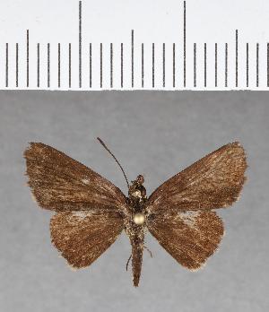 (Hesperiidae_gen sp. CF70 - CFC09844)  @11 [ ] copyright (2018) Christer Fahraeus Fahraeus Institute