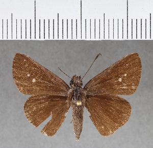 (Hesperiidae_gen sp. CF127 - CFC09852)  @11 [ ] copyright (2018) Christer Fahraeus Fahraeus Institute