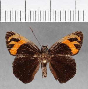 (Hesperiidae_gen sp. CF62 - CFC09855)  @11 [ ] copyright (2018) Christer Fahraeus Fahraeus Institute
