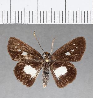 (Hesperiidae_gen sp. CF120 - CFC09857)  @11 [ ] copyright (2018) Christer Fahraeus Fahraeus Institute