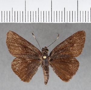 (Hesperiidae_gen sp. CF151 - CFC09860)  @11 [ ] copyright (2018) Christer Fahraeus Fahraeus Institute