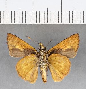 (Hesperiidae_gen sp. CF26 - CFC09861)  @11 [ ] copyright (2018) Christer Fahraeus Fahraeus Institute