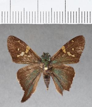 (Hesperiidae_gen sp. CF39 - CFC09867)  @11 [ ] copyright (2018) Christer Fahraeus Fahraeus Institute