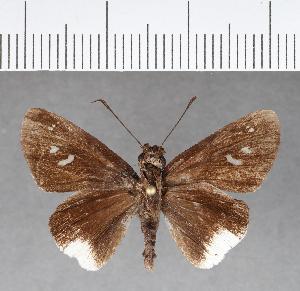 (Hesperiidae_gen sp. CF114 - CFC09868)  @11 [ ] copyright (2018) Christer Fahraeus Fahraeus Institute