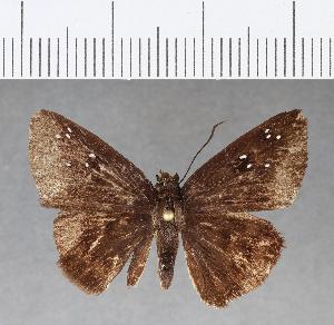(Hesperiidae_gen sp. CF74 - CFC09872)  @11 [ ] copyright (2018) Christer Fahraeus Fahraeus Institute
