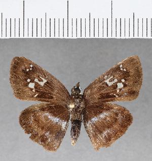 (Hesperiidae_gen sp. CF121 - CFC09874)  @11 [ ] copyright (2018) Christer Fahraeus Fahraeus Institute