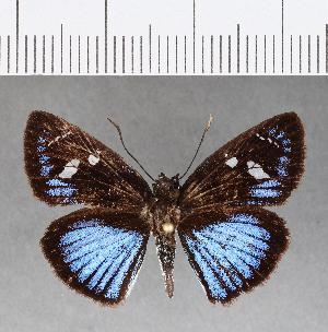 (Hesperiidae_gen sp. CF34 - CFC09876)  @11 [ ] copyright (2018) Christer Fahraeus Fahraeus Institute