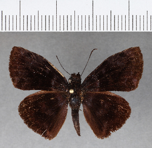 (Hesperiidae_gen sp. CF63 - CFC09886H)  @11 [ ] copyright (2018) Christer Fahraeus Fahraeus Institute