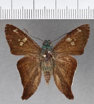 (Hesperiidae_gen sp. CF583 - CFCD01000)  @11 [ ] copyright (2018) Christer Fahraeus Fahraeus Institute