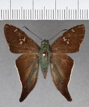(Hesperiidae_gen sp. CF584 - CFCD01001)  @11 [ ] copyright (2018) Christer Fahraeus Fahraeus Institute