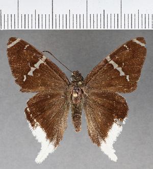 (Hesperiidae_gen sp. CF587 - CFCD01007)  @11 [ ] copyright (2018) Christer Fahraeus Fahraeus Institute