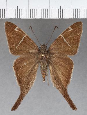 (Hesperiidae_gen sp. CF624 - CFCD01016)  @11 [ ] copyright (2018) Christer Fahraeus Fahraeus Institute