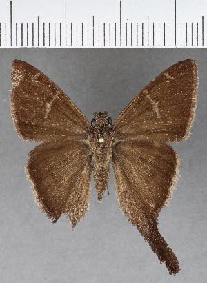 (Hesperiidae_gen sp. CF626 - CFCD01019)  @11 [ ] copyright (2018) Christer Fahraeus Fahraeus Institute