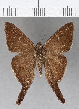 (Hesperiidae_gen sp. CF627 - CFCD01021)  @11 [ ] copyright (2018) Christer Fahraeus Fahraeus Institute