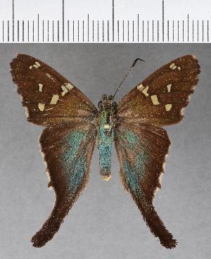 (Hesperiidae_gen sp. CF628 - CFCD01023)  @11 [ ] copyright (2018) Christer Fahraeus Fahraeus Institute