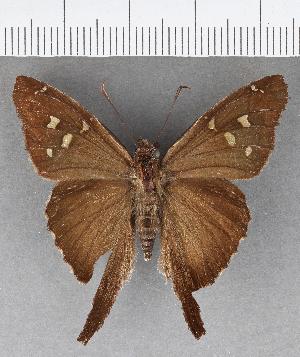 (Hesperiidae_gen sp. CF629 - CFCD01027)  @11 [ ] copyright (2018) Christer Fahraeus Fahraeus Institute