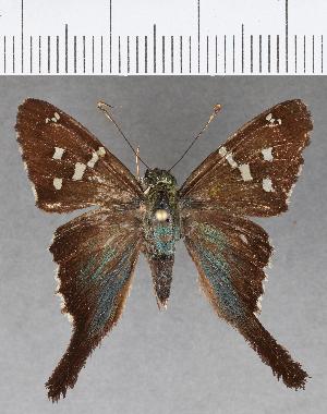 (Hesperiidae_gen sp. CF630 - CFCD01030)  @11 [ ] copyright (2018) Christer Fahraeus Fahraeus Institute