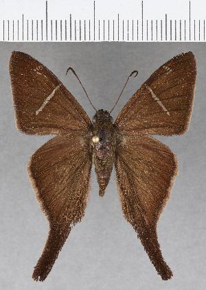 (Hesperiidae_gen sp. CF631 - CFCD01036)  @11 [ ] copyright (2018) Christer Fahraeus Fahraeus Institute