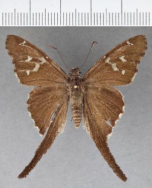 (Hesperiidae_gen sp. CF635 - CFCD01043)  @11 [ ] copyright (2018) Christer Fahraeus Fahraeus Institute