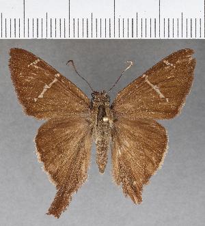 (Hesperiidae_gen sp. CF636 - CFCD01044)  @11 [ ] copyright (2018) Christer Fahraeus Fahraeus Institute