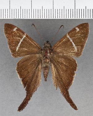 (Hesperiidae_gen sp. CF637 - CFCD01046)  @11 [ ] copyright (2018) Christer Fahraeus Fahraeus Institute