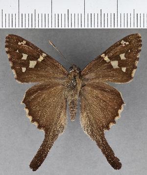 (Hesperiidae_gen sp. CF638 - CFCD01048)  @11 [ ] copyright (2018) Christer Fahraeus Fahraeus Institute