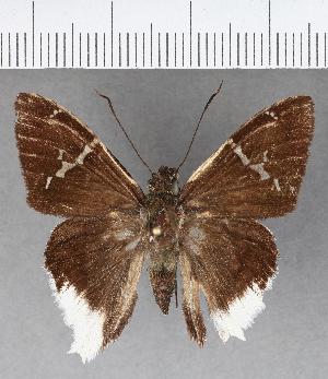 (Hesperiidae_gen sp. CF639 - CFCD01050)  @11 [ ] copyright (2018) Christer Fahraeus Fahraeus Institute