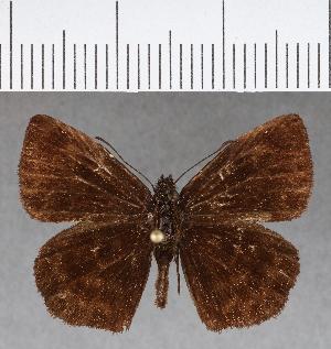 (Hesperiidae_gen sp. CF645 - CFCD01051)  @11 [ ] copyright (2018) Christer Fahraeus Fahraeus Institute