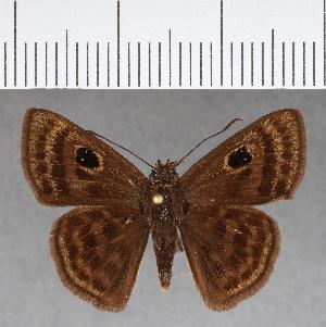 (Hesperiidae_gen sp. CF649 - CFCD01053)  @11 [ ] copyright (2018) Christer Fahraeus Fahraeus Institute