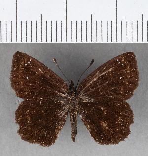 (Hesperiidae_gen sp. CF650 - CFCD01054)  @11 [ ] copyright (2018) Christer Fahraeus Fahraeus Institute