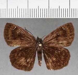(Hesperiidae_gen sp. CF651 - CFCD01055)  @11 [ ] copyright (2018) Christer Fahraeus Fahraeus Institute