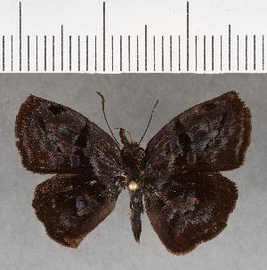 (Hesperiidae_gen sp. CF656 - CFCD01056)  @11 [ ] copyright (2018) Christer Fahraeus Fahraeus Institute