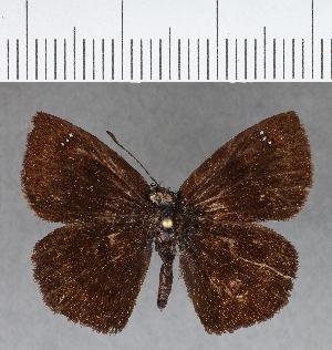 (Hesperiidae_gen sp. CF657 - CFCD01057)  @11 [ ] copyright (2018) Christer Fahraeus Fahraeus Institute