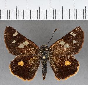 (Hesperiidae_gen sp. CF658 - CFCD01058)  @11 [ ] copyright (2018) Christer Fahraeus Fahraeus Institute