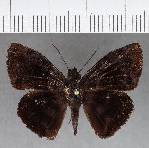 (Hesperiidae_gen sp. CF668 - CFCD01066)  @11 [ ] copyright (2018) Christer Fahraeus Fahraeus Institute