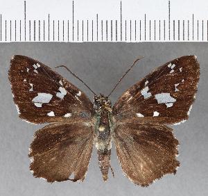 (Hesperiidae_gen sp. CF670 - CFCD01067)  @11 [ ] copyright (2018) Christer Fahraeus Fahraeus Institute