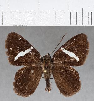 (Hesperiidae_gen sp. CF671 - CFCD01068)  @11 [ ] copyright (2018) Christer Fahraeus Fahraeus Institute