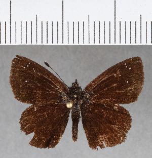 (Hesperiidae_gen sp. CF675 - CFCD01071)  @11 [ ] copyright (2018) Christer Fahraeus Fahraeus Institute