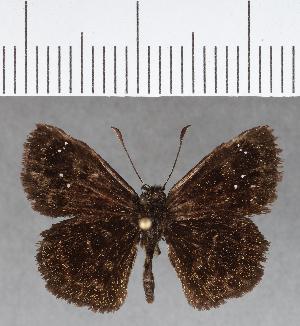 (Hesperiidae_gen sp. CF678 - CFCD01073)  @11 [ ] copyright (2018) Christer Fahraeus Fahraeus Institute