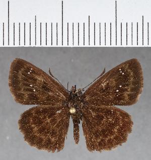 (Hesperiidae_gen sp. CF691 - CFCD01076)  @11 [ ] copyright (2018) Christer Fahraeus Fahraeus Institute