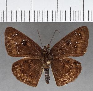 (Hesperiidae_gen sp. CF682 - CFCD01077)  @11 [ ] copyright (2018) Christer Fahraeus Fahraeus Institute