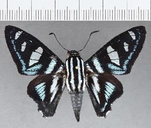 (Hesperiidae_gen sp. CF696 - CFCD01088)  @11 [ ] copyright (2019) Christer Fahraeus Fahraeus Institute
