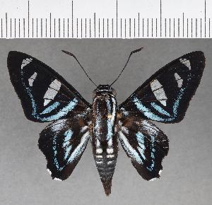(Hesperiidae_gen sp. CF698 - CFCD01090)  @11 [ ] copyright (2019) Christer Fahraeus Fahraeus Institute