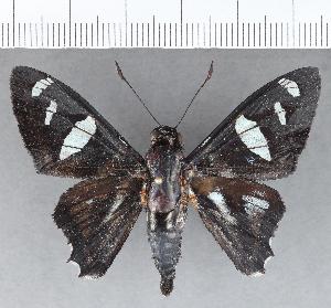 (Hesperiidae_gen sp. CF702 - CFCD01091)  @11 [ ] copyright (2019) Christer Fahraeus Fahraeus Institute