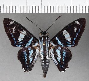 (Hesperiidae_gen sp. CF709 - CFCD01092)  @11 [ ] copyright (2019) Christer Fahraeus Fahraeus Institute