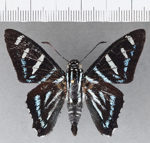 (Hesperiidae_gen sp. CF710 - CFCD01094)  @11 [ ] copyright (2019) Christer Fahraeus Fahraeus Institute