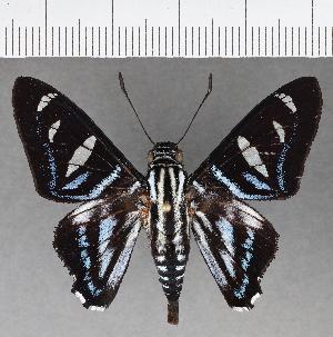 (Hesperiidae_gen sp. CF711 - CFCD01098)  @11 [ ] copyright (2019) Christer Fahraeus Fahraeus Institute